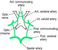Fig. C11 Diagram showing the circle of Willis and the optic chiasma