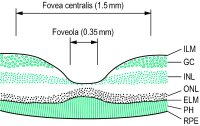 Fig. F9 Cross-section of the retina showing the fovea centralis and foveola (rod-free area)