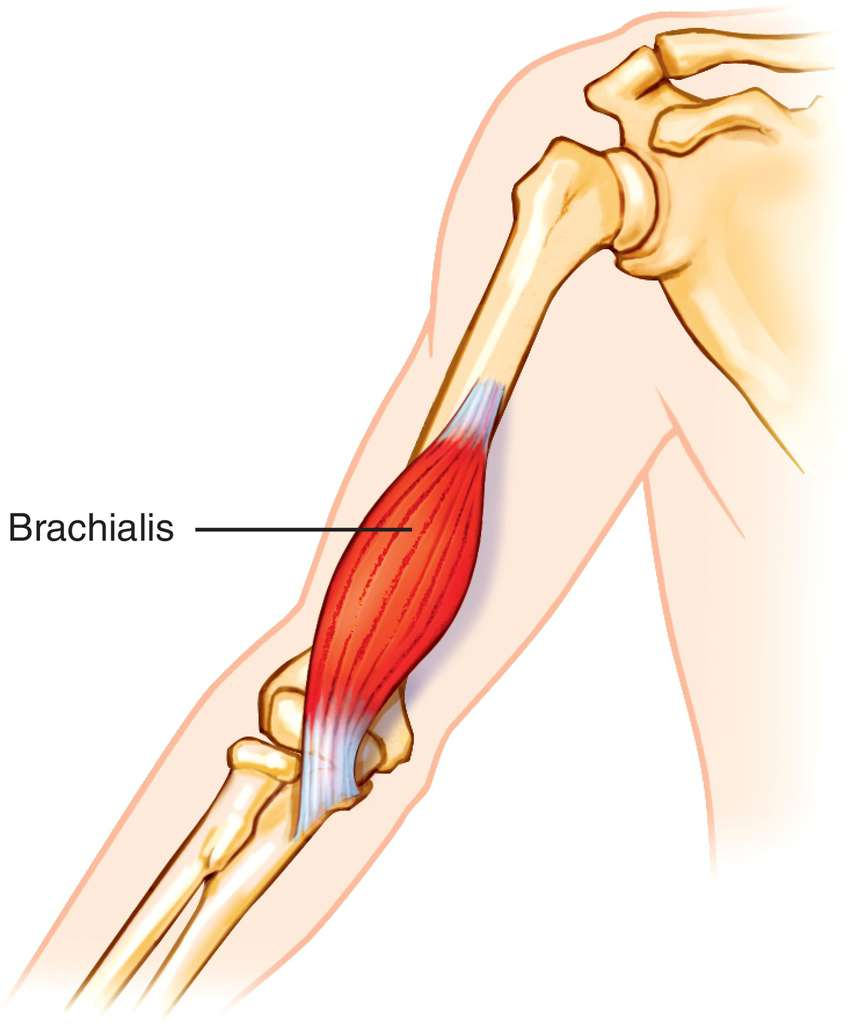 Full Size Picture brachialis.jpg