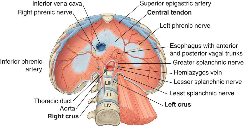 diaphragm | definition of diaphragm by medical dictionary, Human body