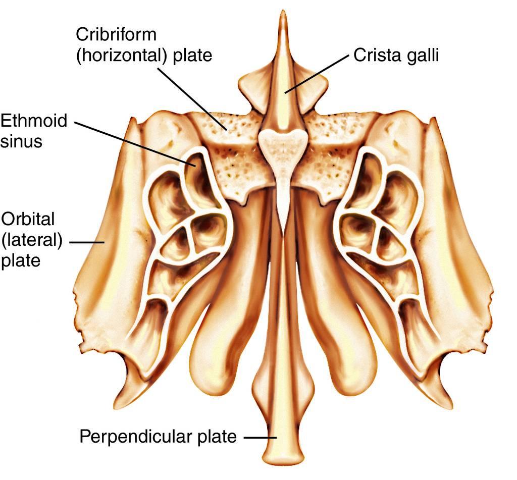Full Size Picture ethmoid bone.jpg
