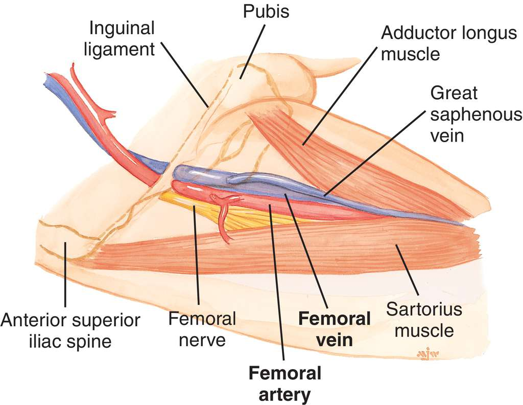 superficial femoral artery | definition of superficial femoral, Human Body