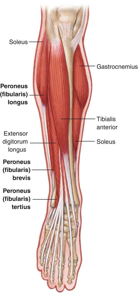 Full Size Picture peroneus-brevis.jpg