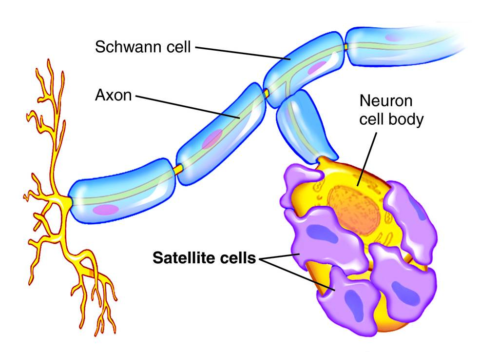 Cell definition anatomy