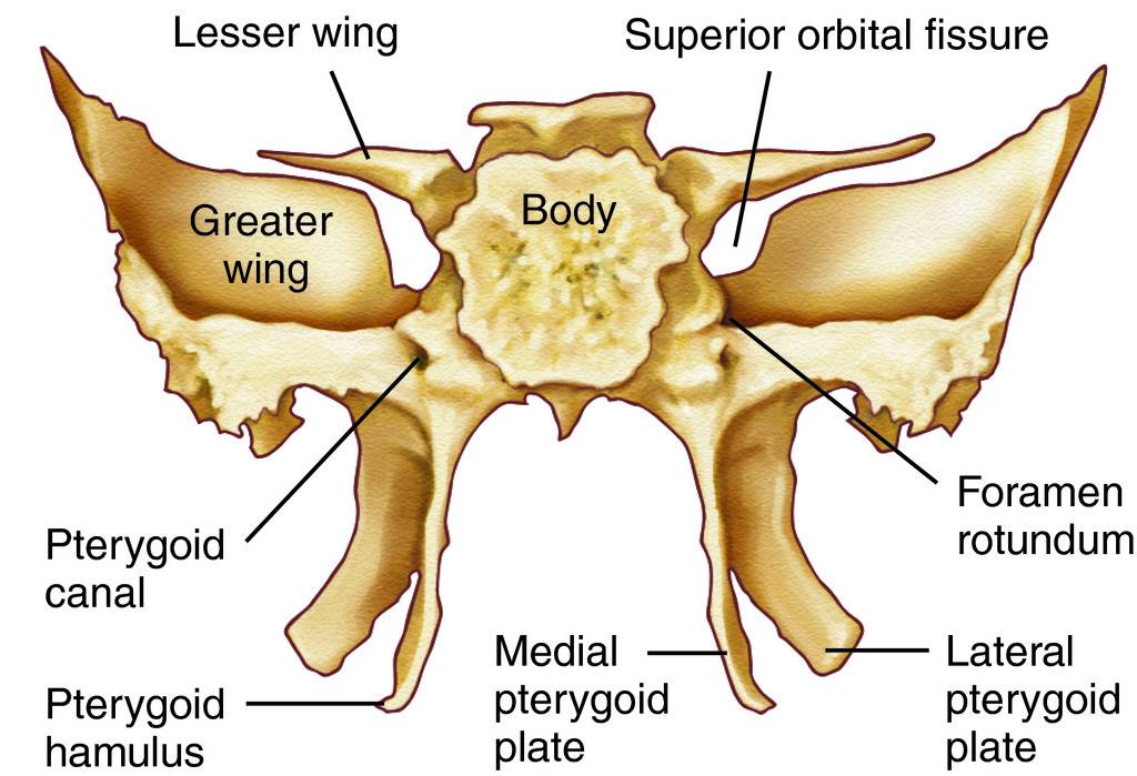 Full Size Picture sphenoid bone.jpg