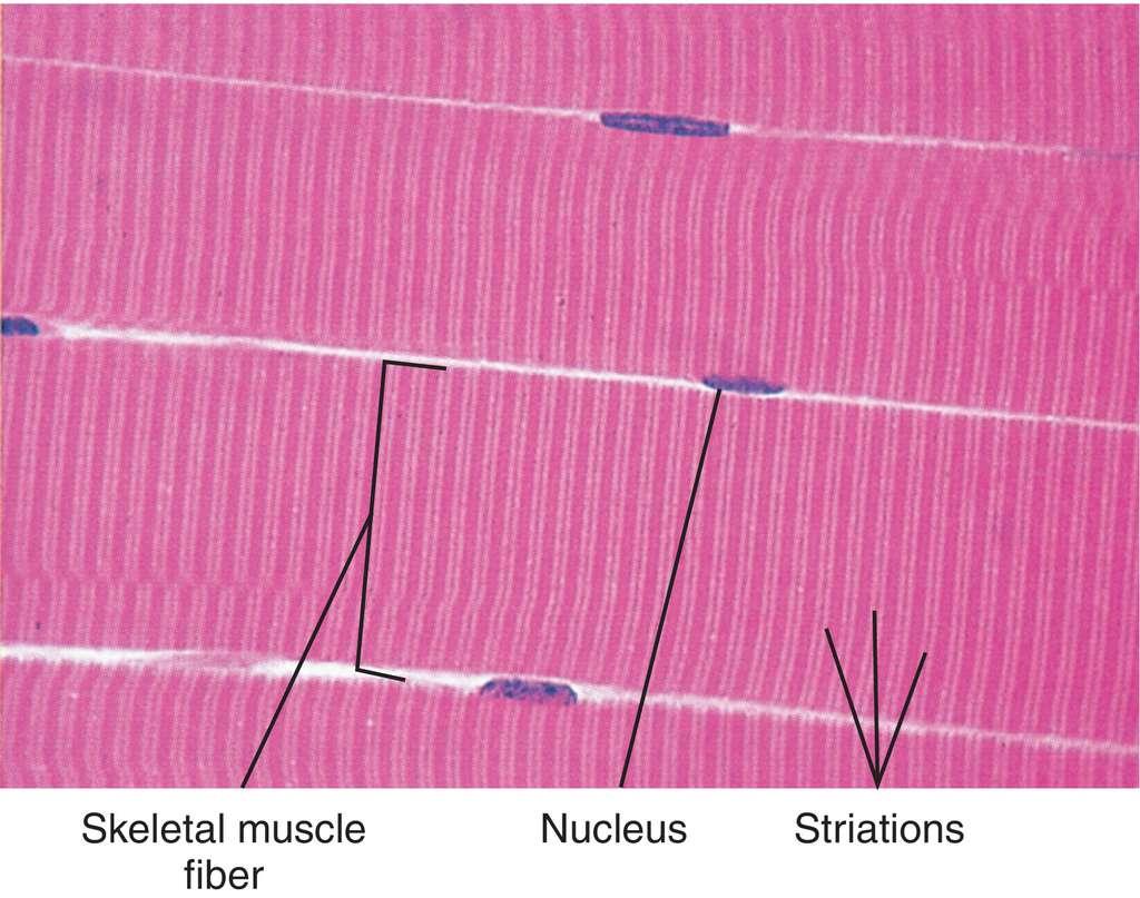 Striations Definition Anatomy Choice Image - human body anatomy