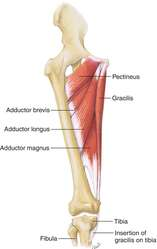 thigh adductor muscles | definition of thigh adductor muscles by, Human Body