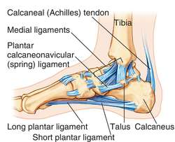 ankle joint | definition of ankle joint by medical dictionary, Cephalic Vein