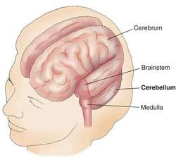 cerebellum | definition of cerebellum by medical dictionary, Human Body