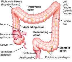 short colon | definition of short colon by medical dictionary, Human Body