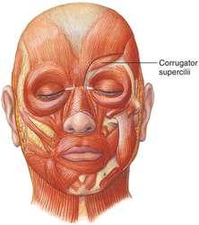 corrugator supercilii | definition of corrugator supercilii by, Human Body