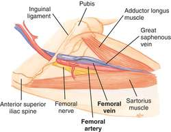 femoral artery | definition of femoral artery by medical dictionary, Cephalic Vein