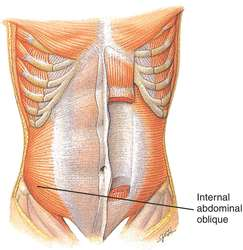 internal abdominal oblique muscle | definition of internal, Human Body