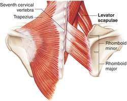 levator scapulae | definition of levator scapulae by medical, Human Body