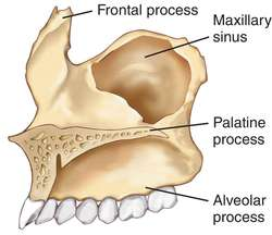 Frontal process of maxilla - definition of Frontal process of ...