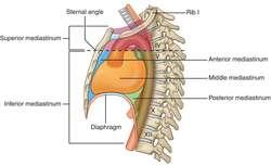 Mediastinum moreover Circulatory Pathways additionally Mediastinum additionally 7277544 moreover 15701259. on divisions of thoracic cavity