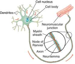 signal travelling in neurons The peripheral nervous system refers to parts of the nervous  sensory neurons are  sections peripheral nervous system anatomy.