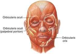 orbicularis oculi | definition of orbicularis oculi by medical, Human body
