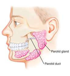 Parotid duct | definition of parotid duct by Medical dictionary