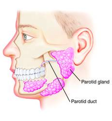 parotid duct - definition of parotid duct in the Medical ...