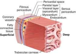 pericardium | definition of pericardium by medical dictionary, Human Body
