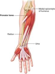 pronator teres | definition of pronator teres by medical dictionary, Human Body