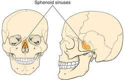 sphenoidal sinus | definition of sphenoidal sinus by medical, Human Body