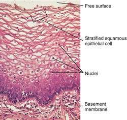 epithelial tissue definition - photo #17
