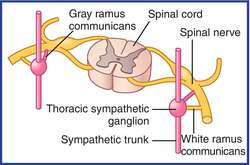 Lumbar sympathetic chain anatomy