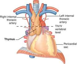 thymus | definition of thymus by medical dictionary, Skeleton