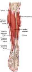 tibialis anterior | definition of tibialis anterior by medical, Human Body