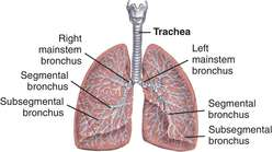 trachea | definition of trachea by medical dictionary, Cephalic Vein