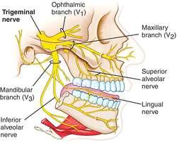 Trigeminal nerve | definition of trigeminal nerve by Medical ...