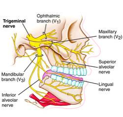 trigeminal nerve - definition of trigeminal nerve in the Medical ...