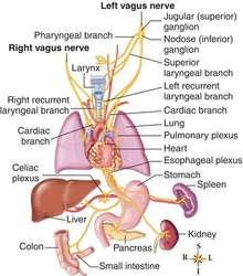 vagus nerve | definition of vagus nerve by medical dictionary, Cephalic Vein