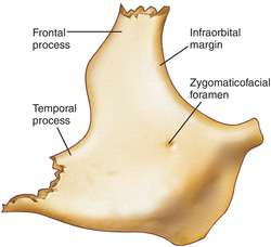 zygomatic bone | definition of zygomatic bone by medical dictionary, Human Body