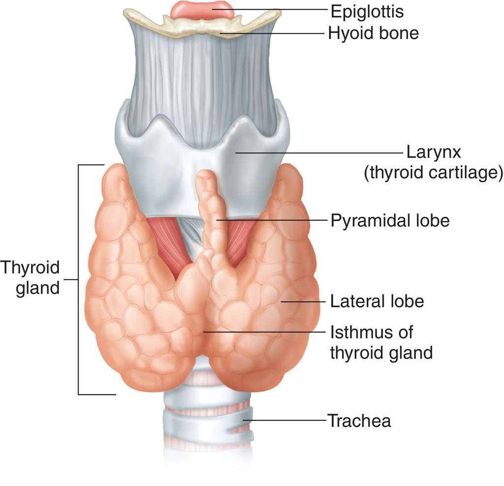 thyroid body | definition of thyroid body by medical dictionary, Human Body