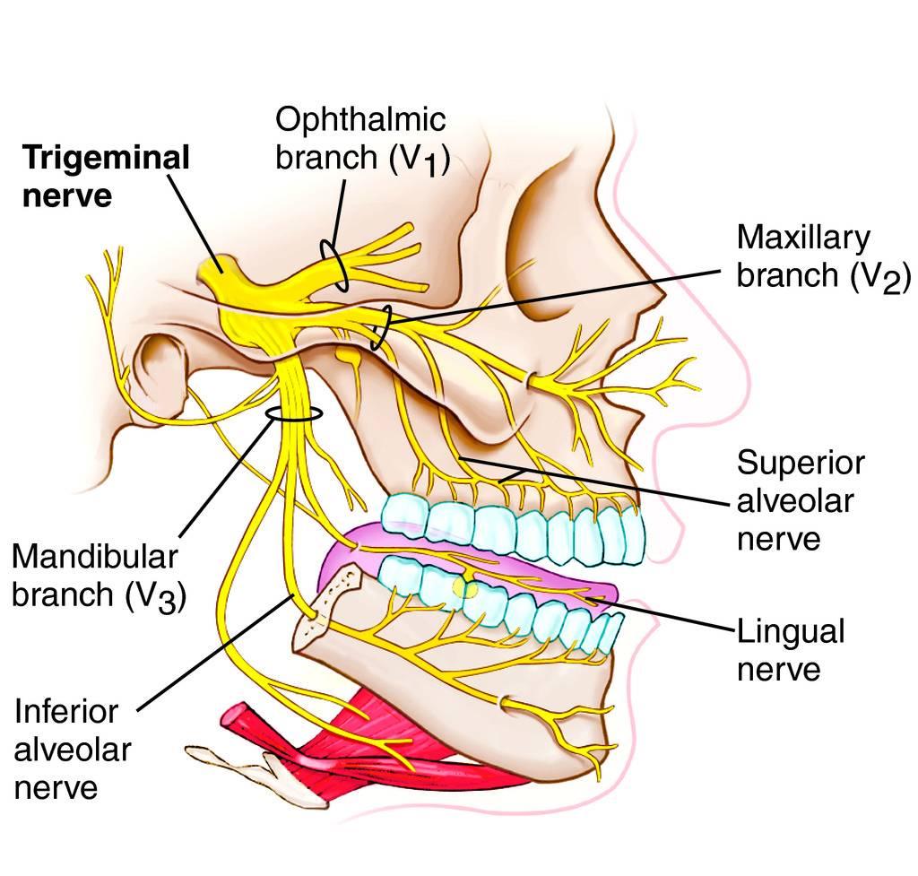 Trigeminal nerve   Human Anatomy