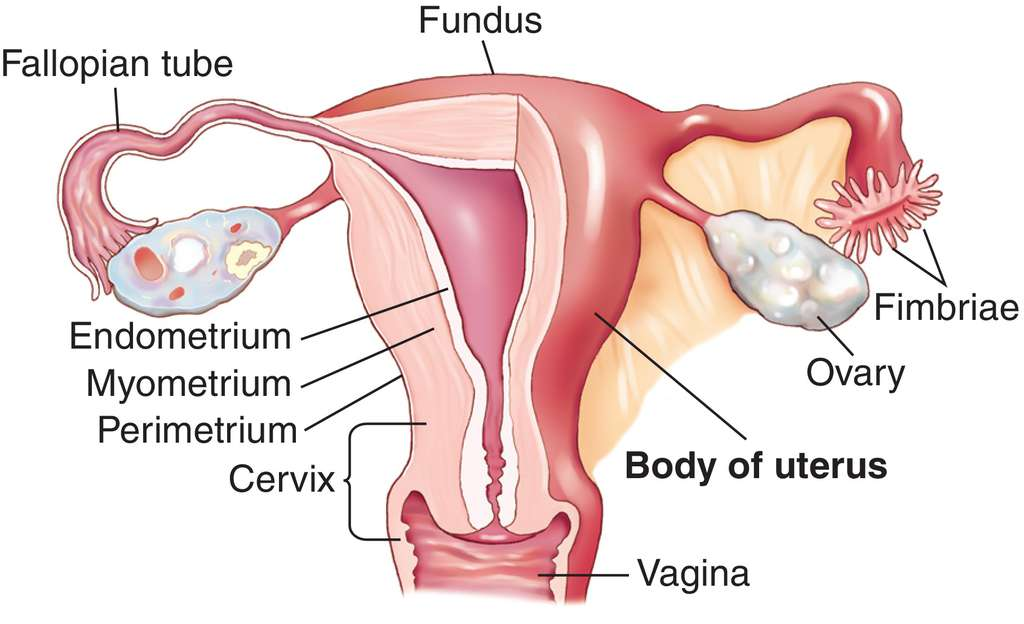 uterus | definition of uterus by medical dictionary, Human Body