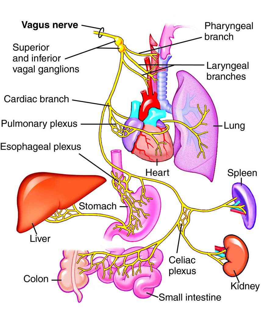 Vagus Nerve Diagram Vagus Nerve Heart And Lung