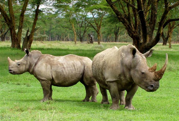 What Is A Group Of Rhinoceroses Called 17