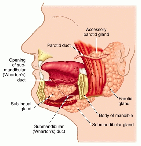 full size picture gland salivary jpg : salivary gland diagram - findchart.co