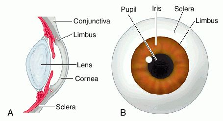 Limbus eye anatomy