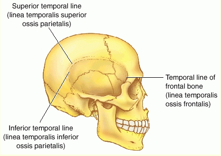 Temporal Line Human Anatomy
