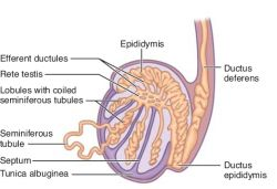 ductus epididymis | definition of ductus epididymis by medical, Human Body