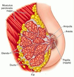mammary gland - definition of mammary gland in the Medical ...
