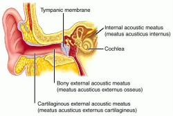 External Auditory Meatus Bone meatus