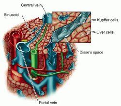 Liver pancreas anatomy