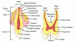 tooth pigmentation
