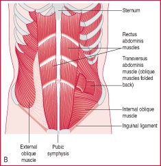 smooth muscle | definition of smooth muscle by medical dictionary, Cephalic Vein